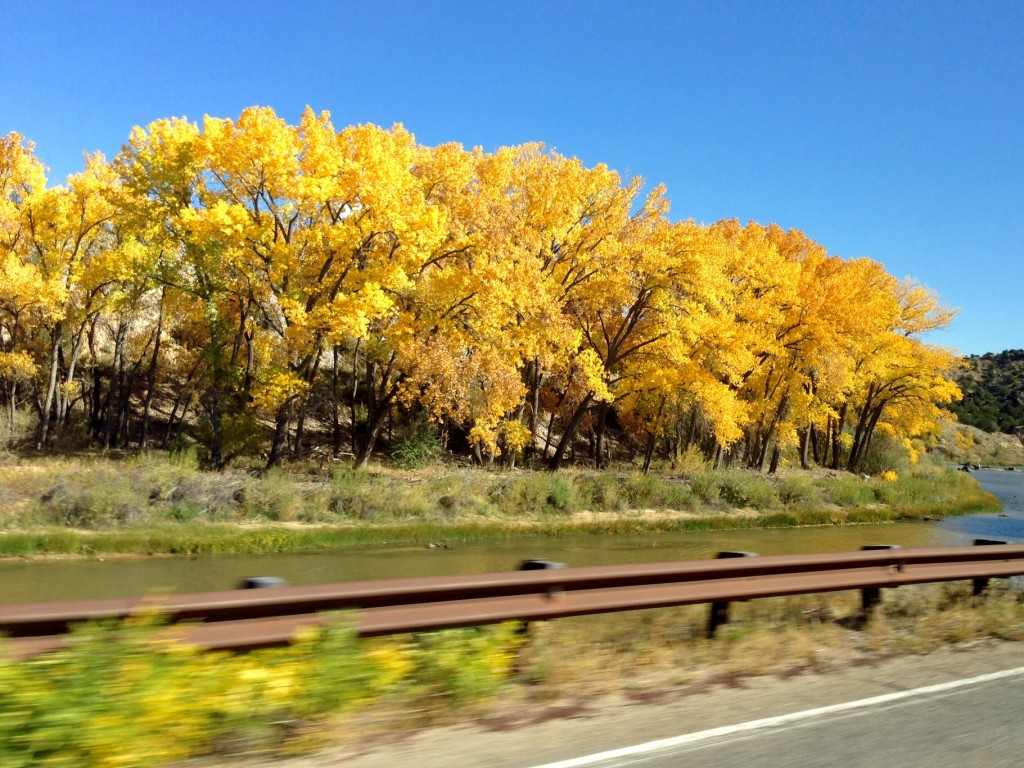 Cottonwood trees in New Mexico at their golden peak.