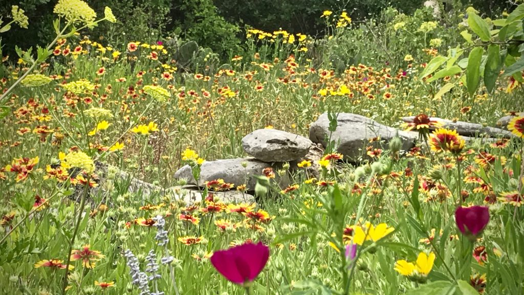 Texas hill country wildflowers!