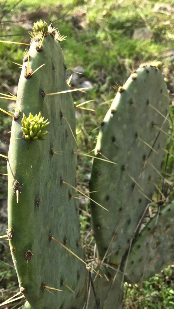 Prickly Pear Cactus in Texas hill country.