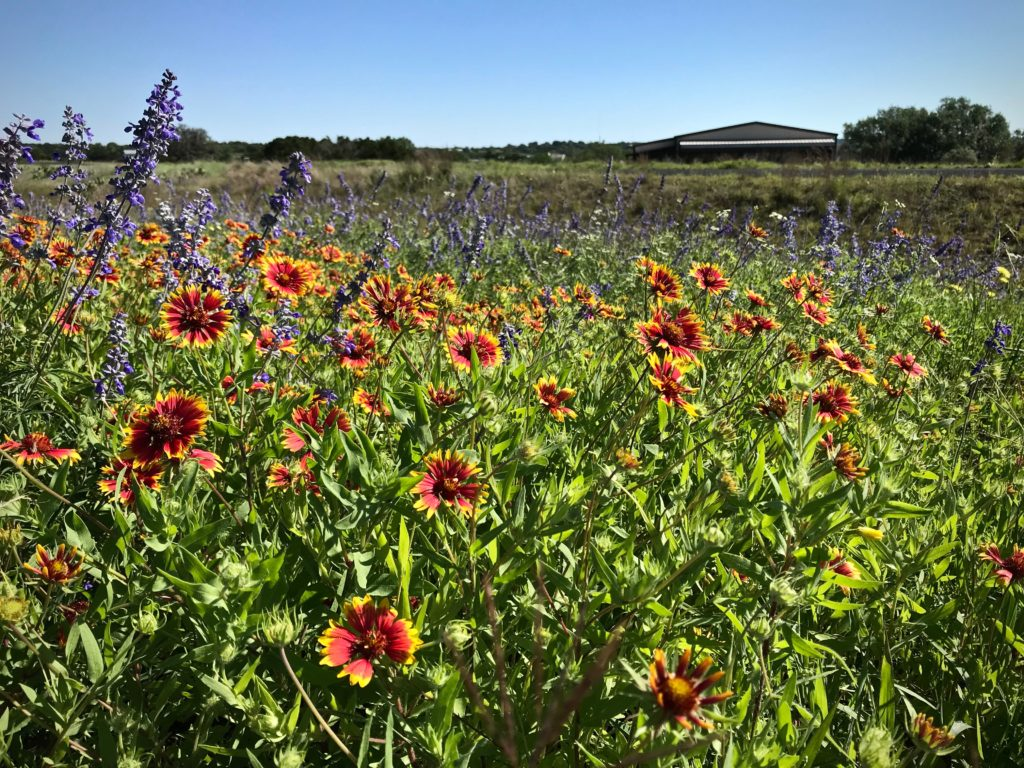 Indian Paintbrush in Texas hill country.